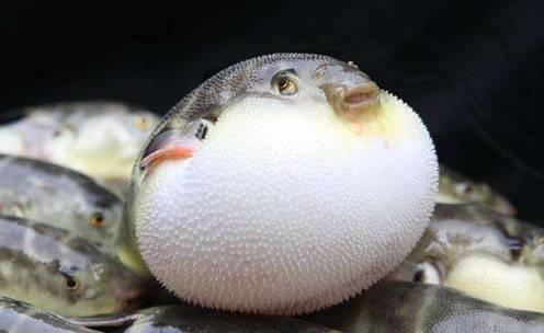 """当当当,素有""""天下第一鲜""""之称的河豚鱼重磅登场!"""